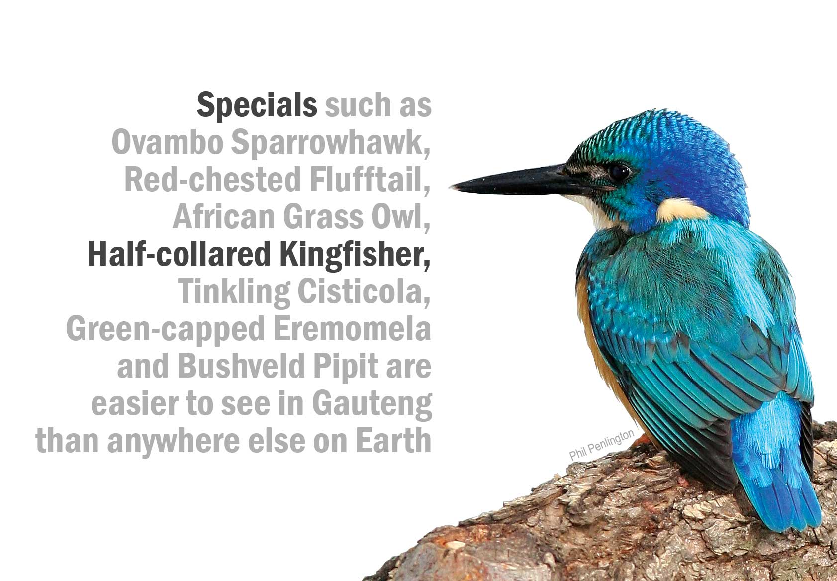 Half-collared Kingfisher (Phil Penlington)