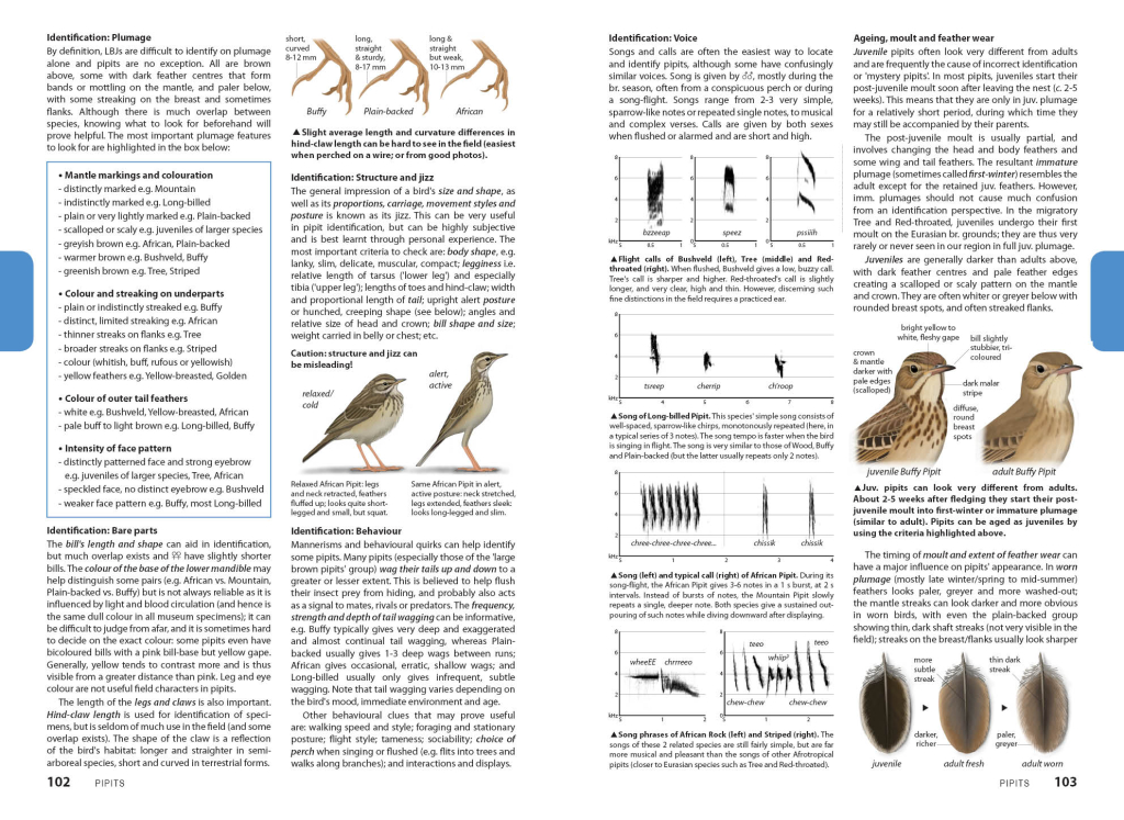 Pipit Identification