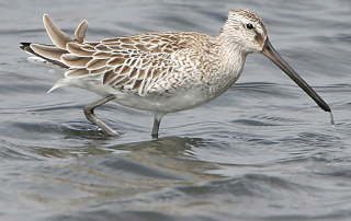 The Asian Dowitcher, like the Buff-breasted Sandpiper, is the only species in its genus. This individual was the first for the African continent. (Photo by Clive Kaplan)