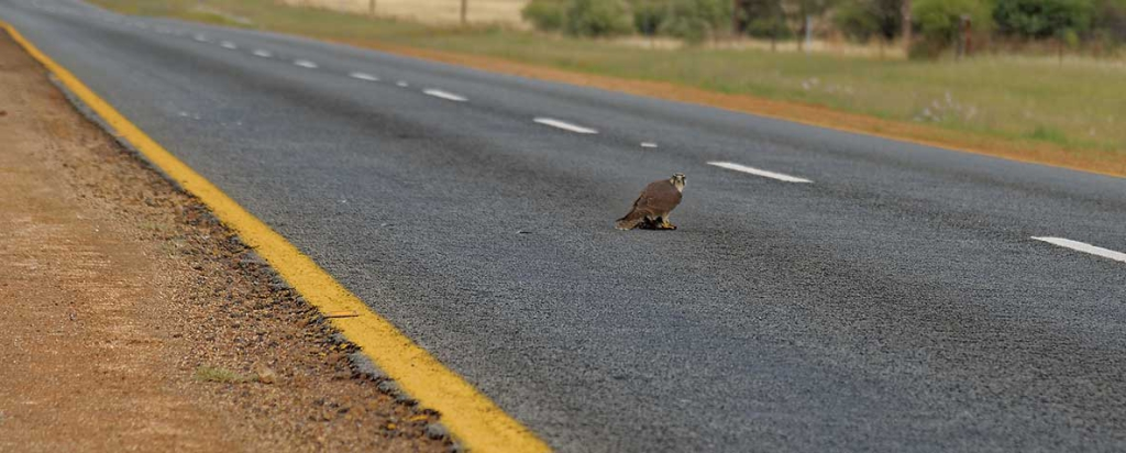 Lanner in the road by Aden Gower