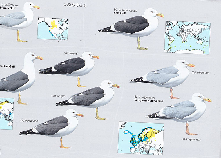 Large gulls plate