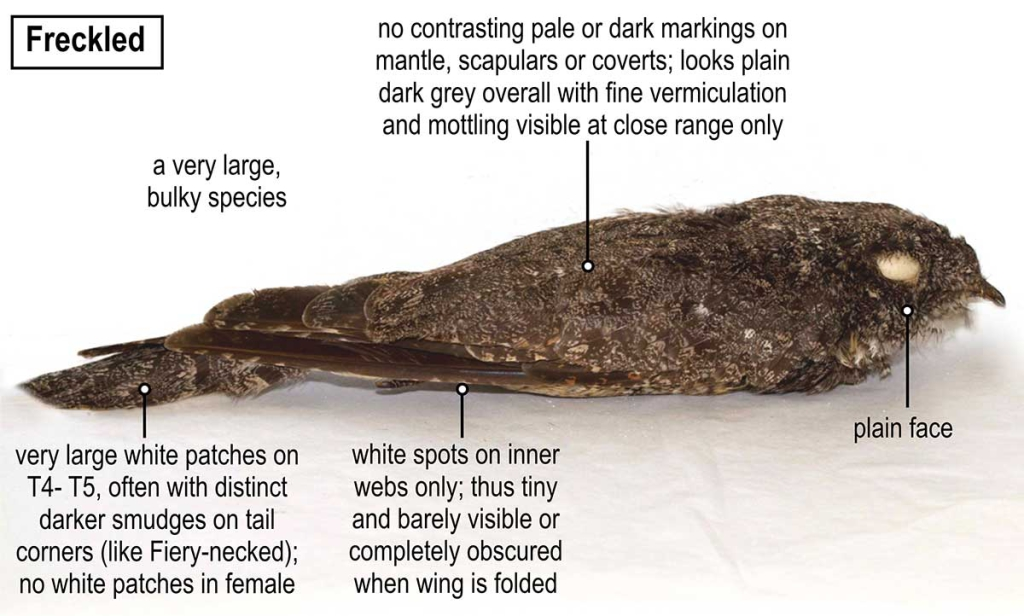 Diagnostic features of Freckled Nightjar
