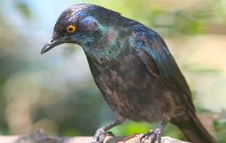Black-bellied Starling by Phil Penlington