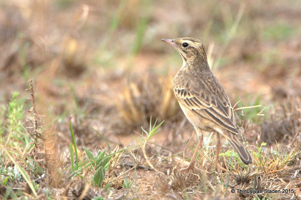 Mountain Pipit by Thinus van Staden