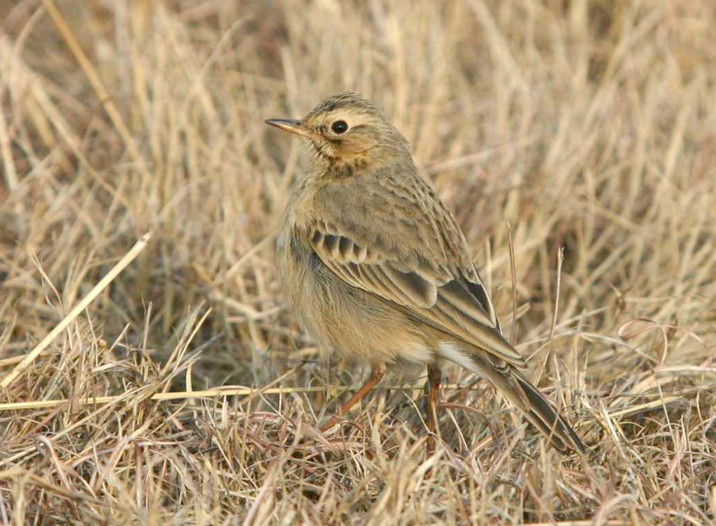 African Pipit by Grant Peacock