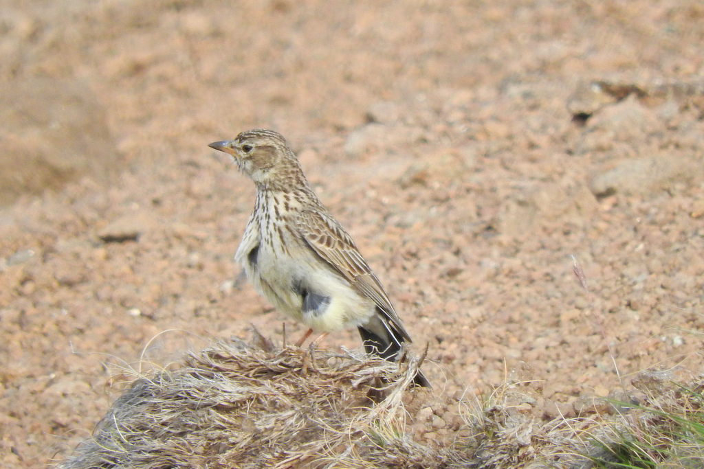 Large-billed Lark by Etienne Marais