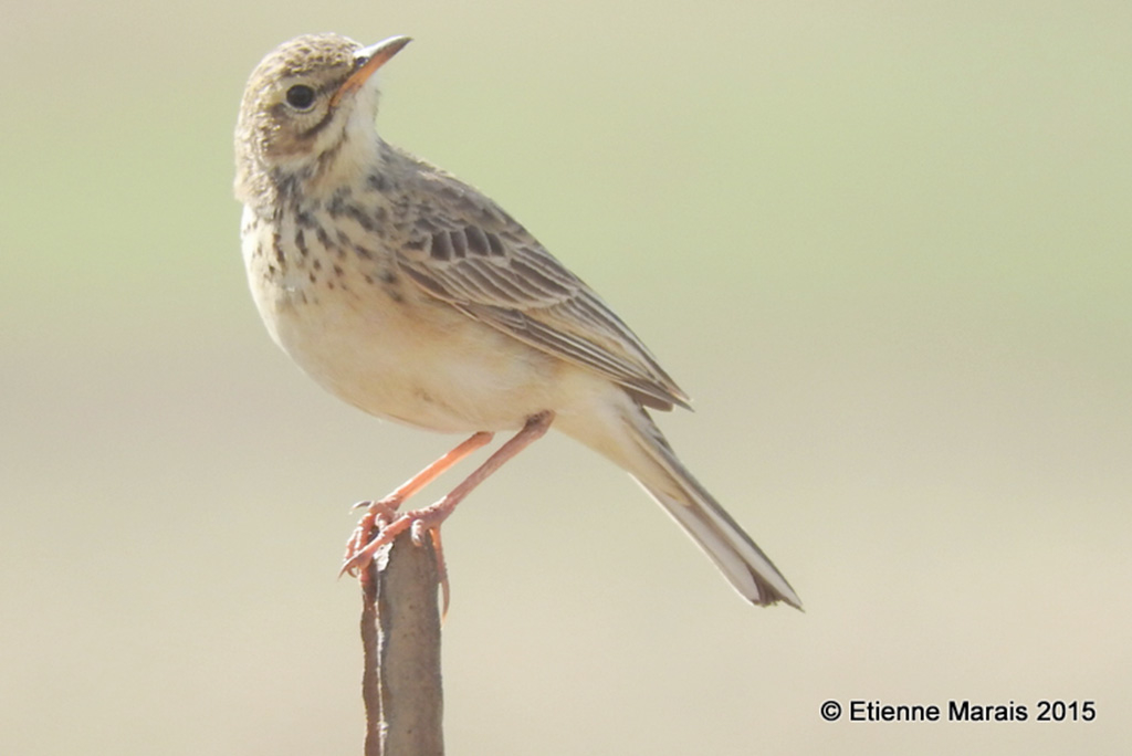 African Pipit by Etienne Marais