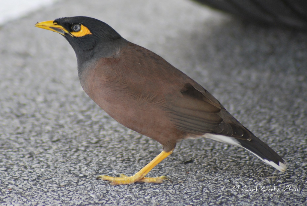 Common Myna by Michael Klotz