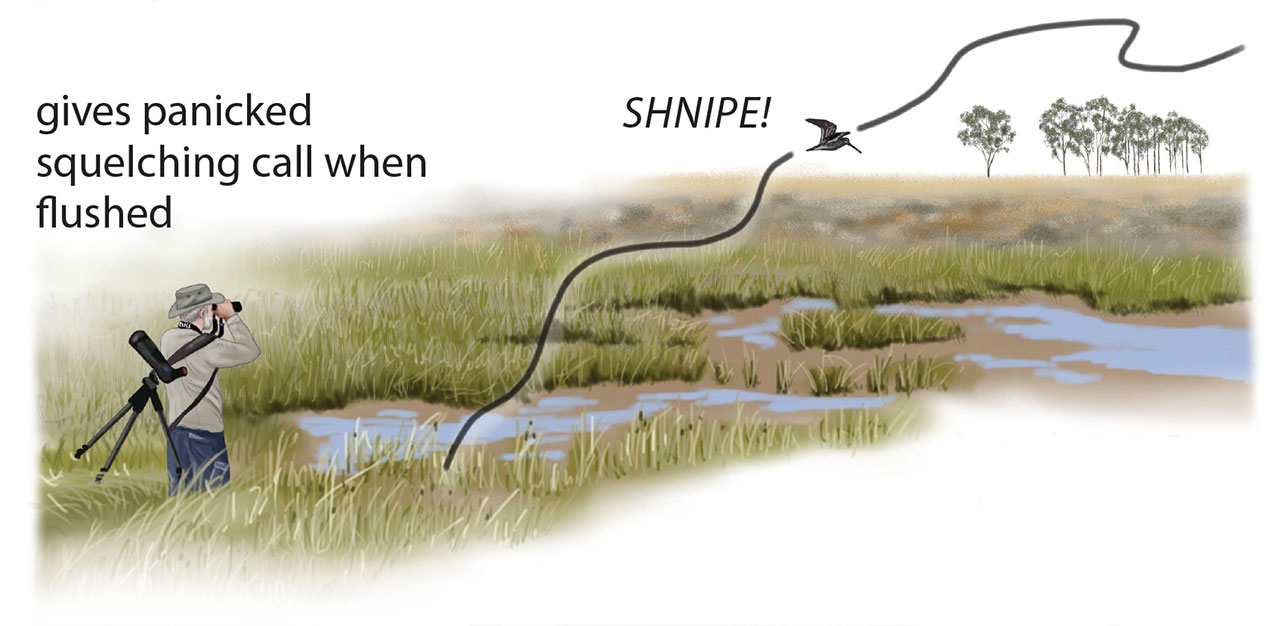 African Snipe flight pattern by Faansie Peacock