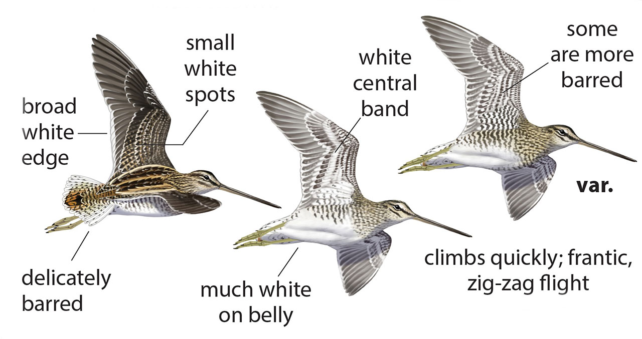 African Snipe wing patterns by Faansie Peacock