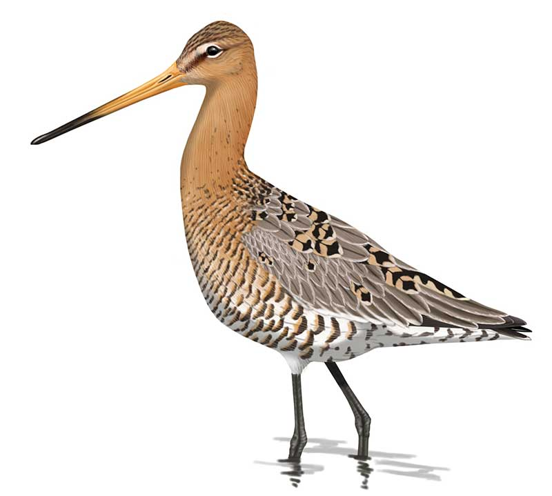 Black-tailed Godwit by Faansie Peacock