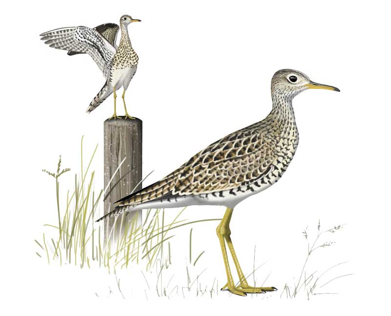 Upland Sandpiper by Faansie Peacock