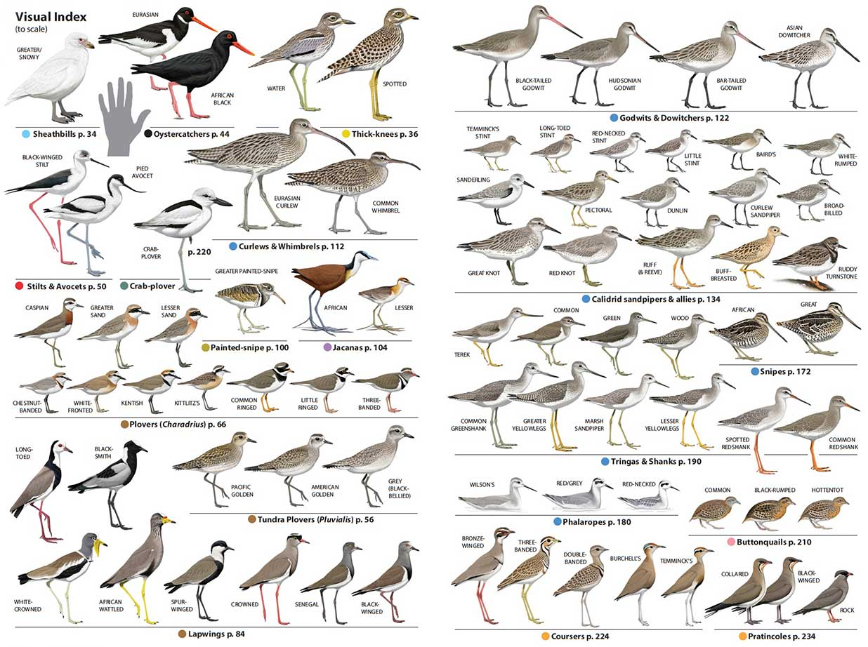 Chamberlains Waders Visual Index by Faansie Peacock