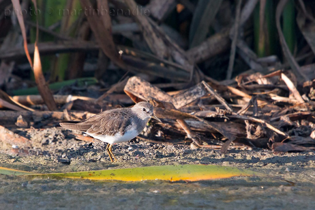 Temminck's Stint by Martin Benadie