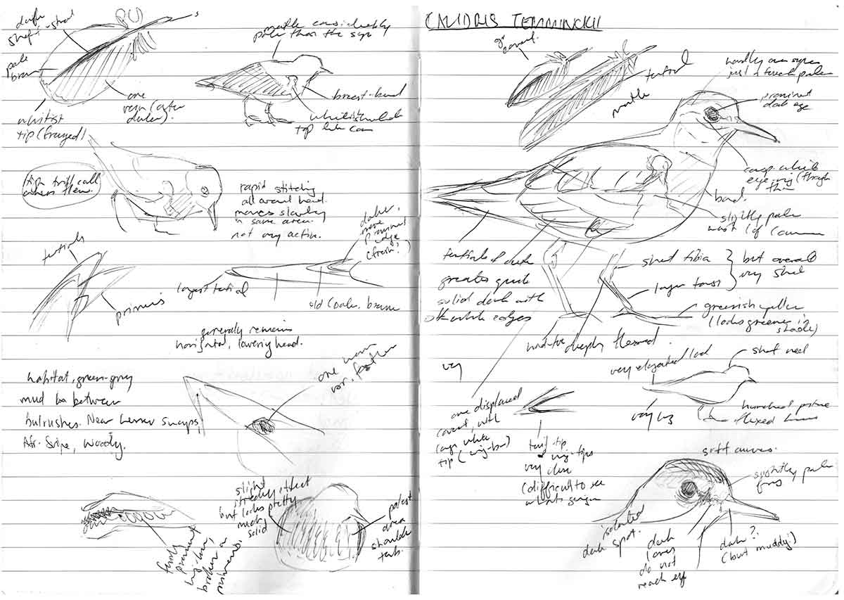 Field notes on Temmincks Stint by Faansie Peacock