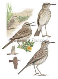 Cape Long-billed Lark by Faansie Peacock