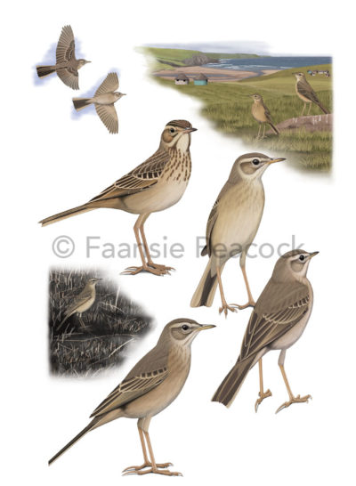 Plain-backed Pipit by Faansie Peacock