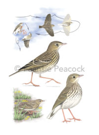 Short-tailed-Pipit_Faansie-Peacock_LowRes