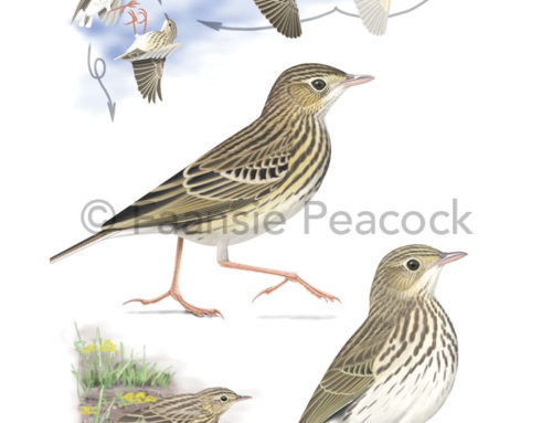 Short-tailed Pipit