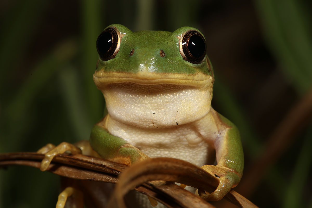 Long-toed Tree Frog by Nick Evans