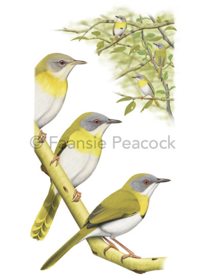 Yellow-breasted-Apalis-Faansie-Peacock_LowRes