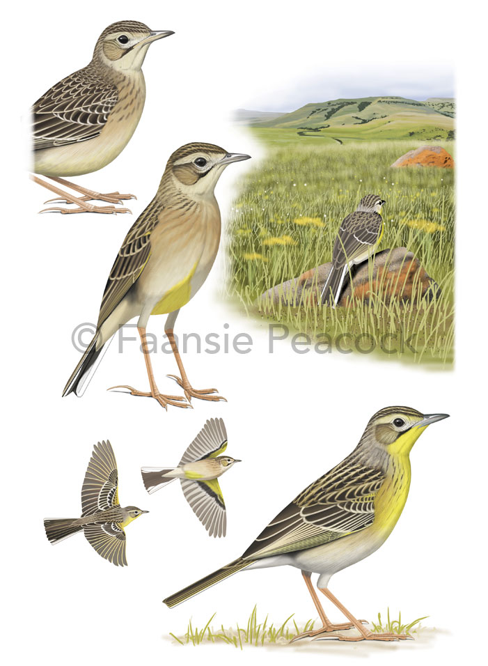 Yellow-breasted-Pipit_Faansie-Peacock_LowRes