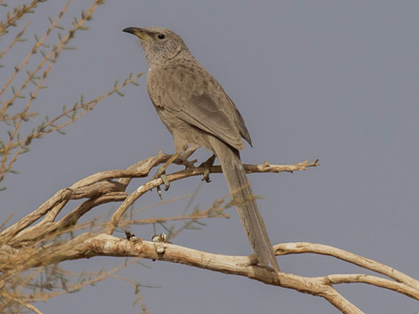 Arabian Babbler by Dominic Rollinson