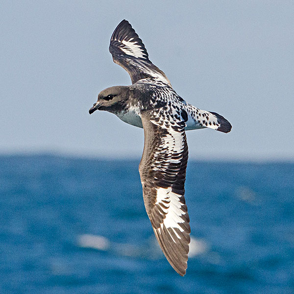Cape Petrel by Dylan Vasapolli