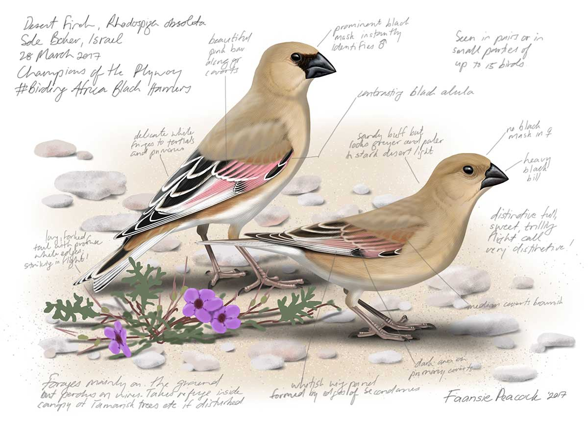 Desert Finches by Faansie Peacock