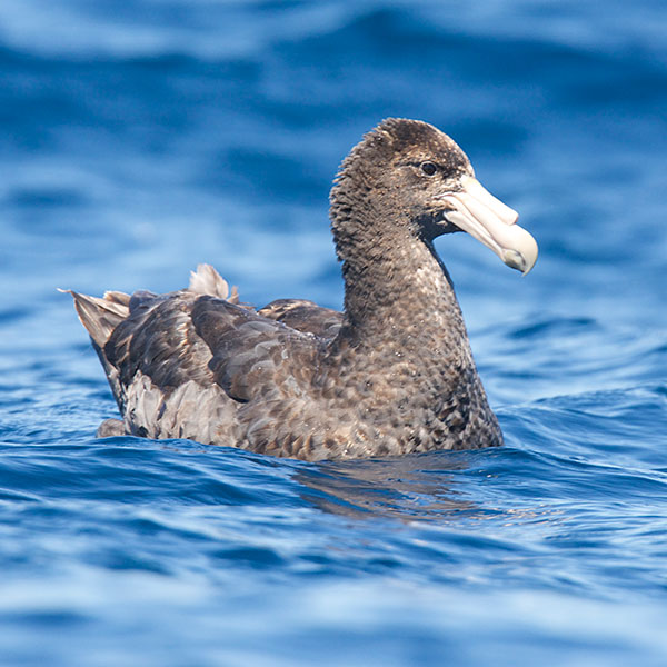 Southern Giant Petrel by Dylan Vasapolli