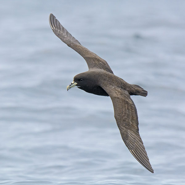 White-chinned Petrel by Dylan Vasapolli