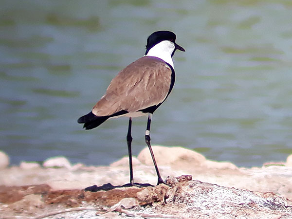 Spur-winged Lapwing by Faansie Peacock