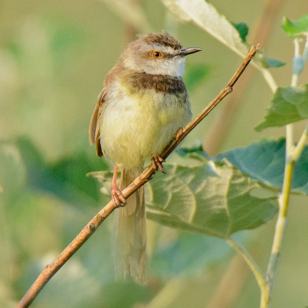 Black-chested Prinia by Dylan Vasapolli