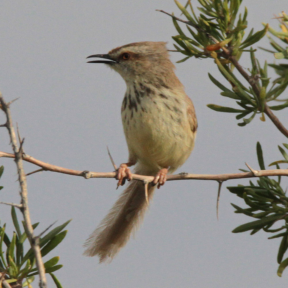 Hybrid Karoo x Black-chested Prinia by Chris Cheetham
