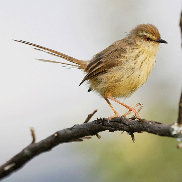 Drakensberg Prinia by Richard and Eileen Flack