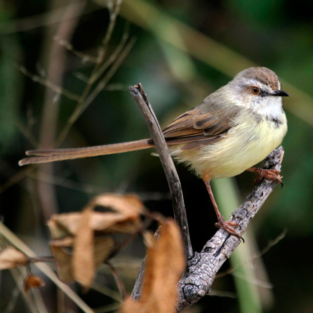 Black-chested Prinia by Richard and Eileen Flack