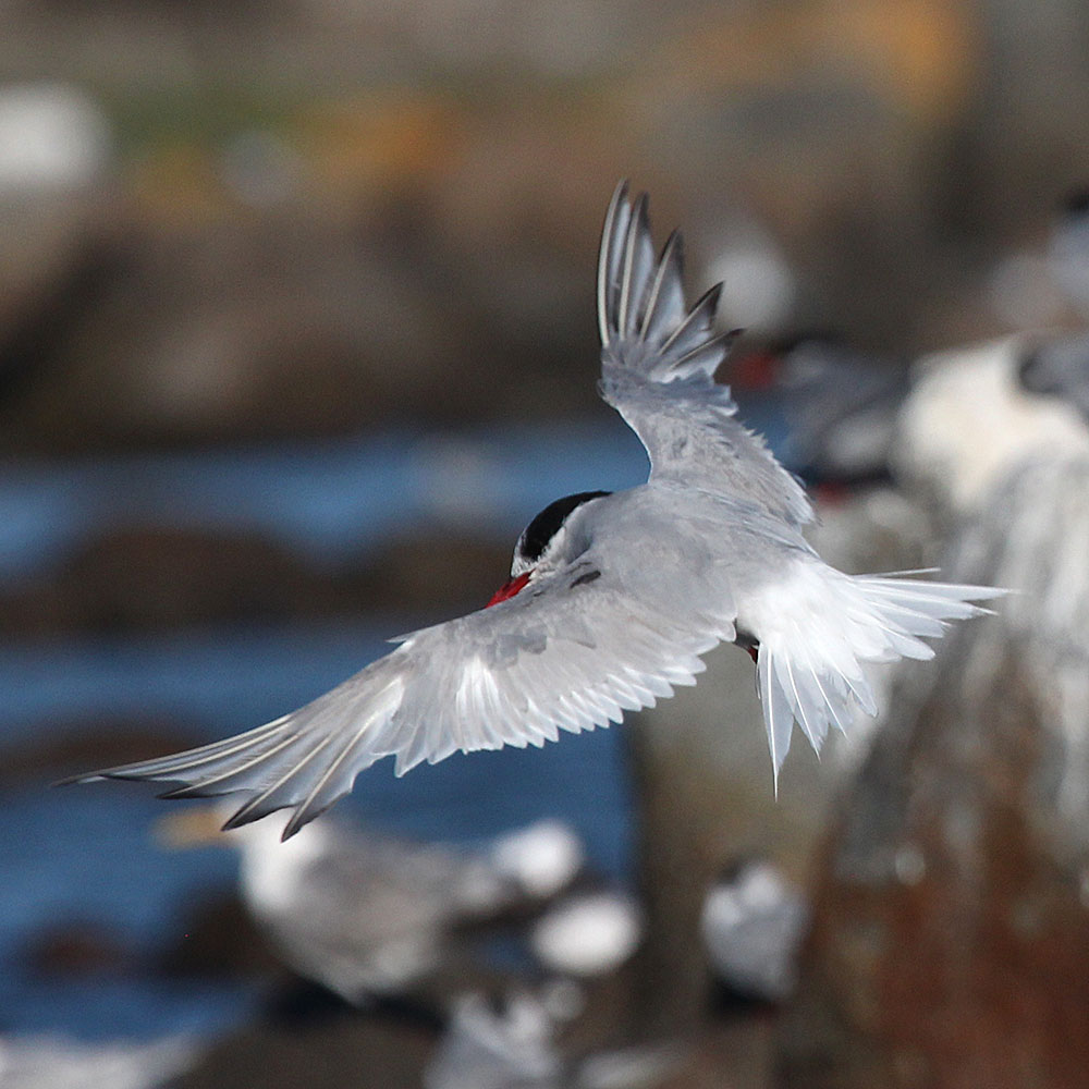 Antarctic Tern upperwing