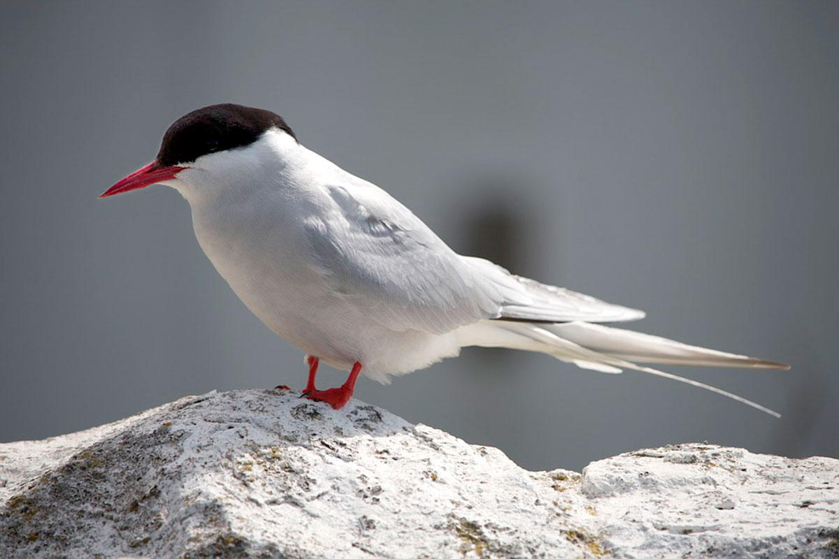 Arctic Tern breeding plumage