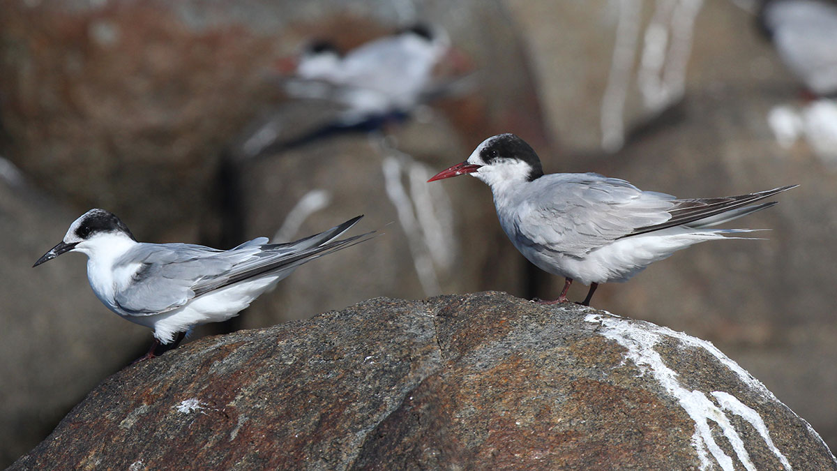 Antarctic Terns by Faansie Peacock