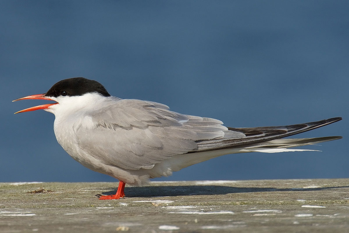 Common Tern by Stefan Berndtsson