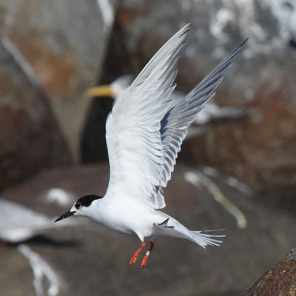 Common Tern underwing