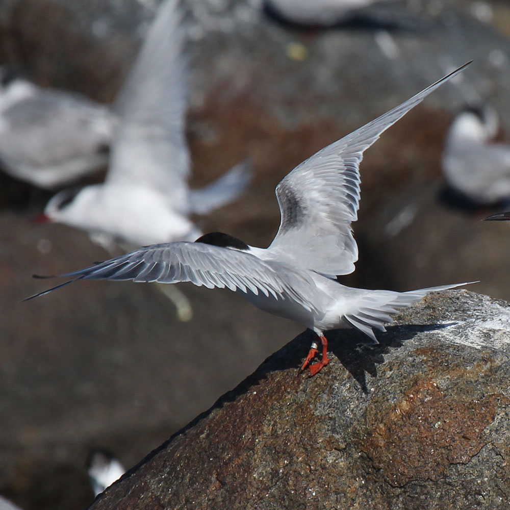 Common Tern upperwing