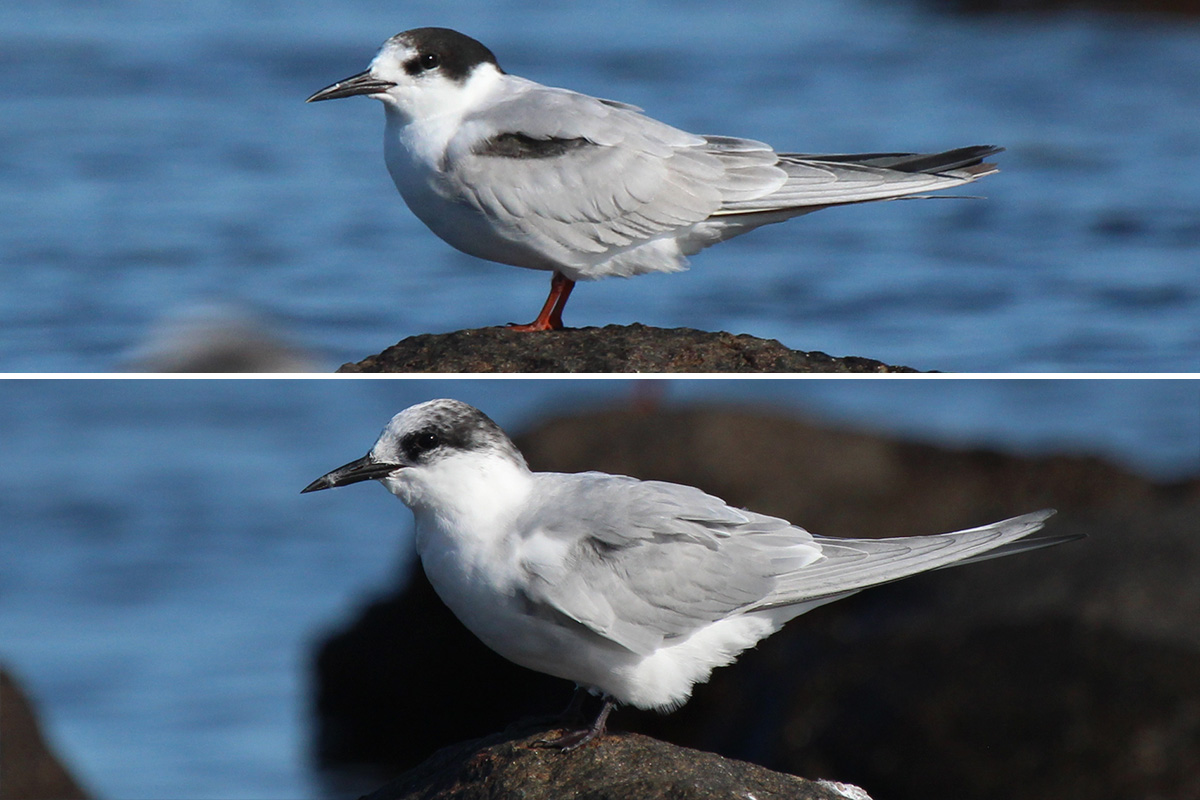 Comparison of Common and Subantarctic Terns by Faansie Peacock