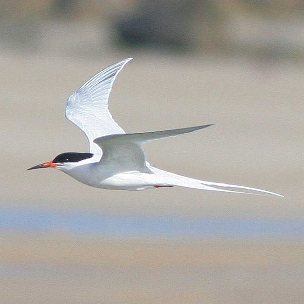 Roseate Tern by Phil Penlington