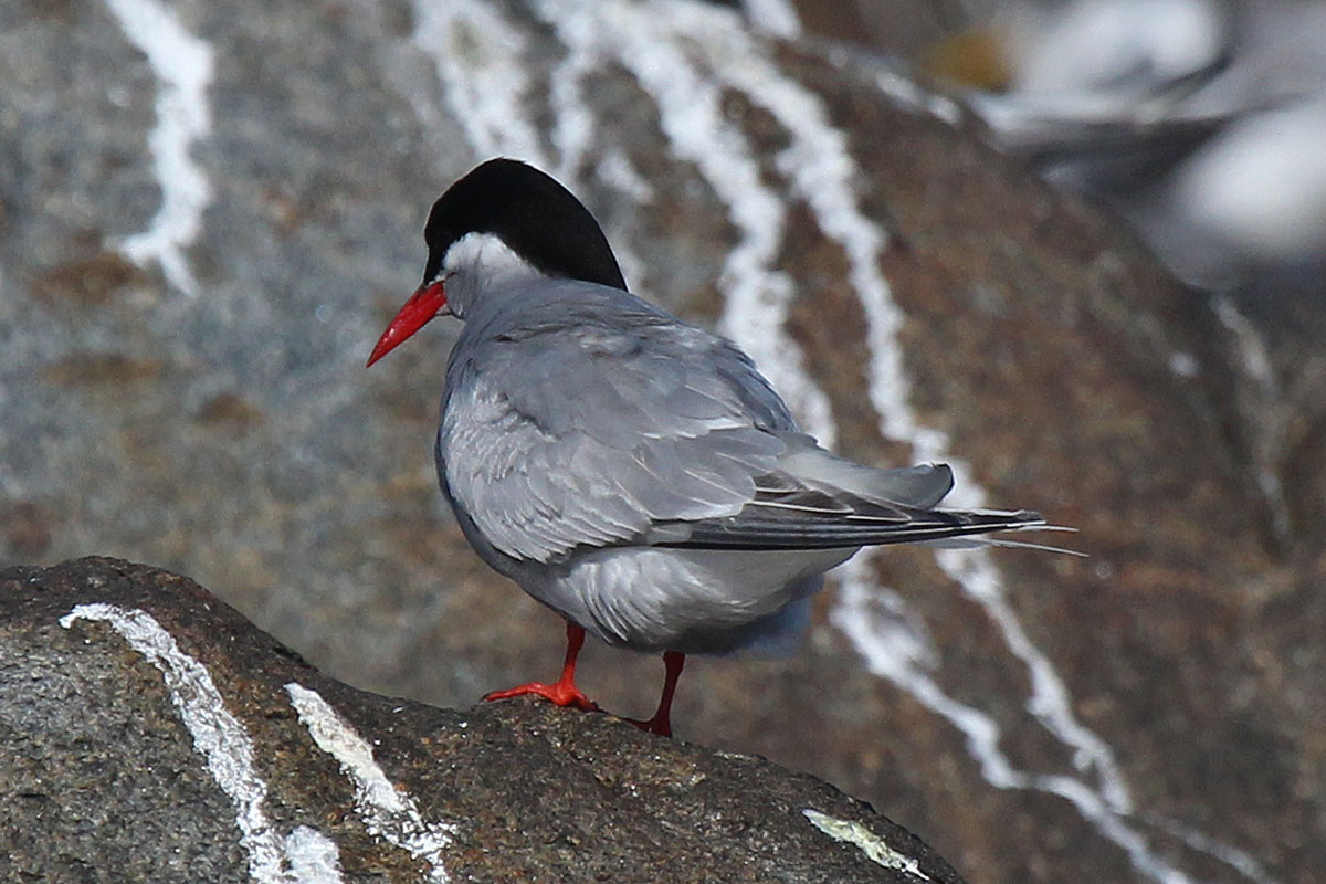 Antarctic Tern in breeding plumage by Faansie Peacock