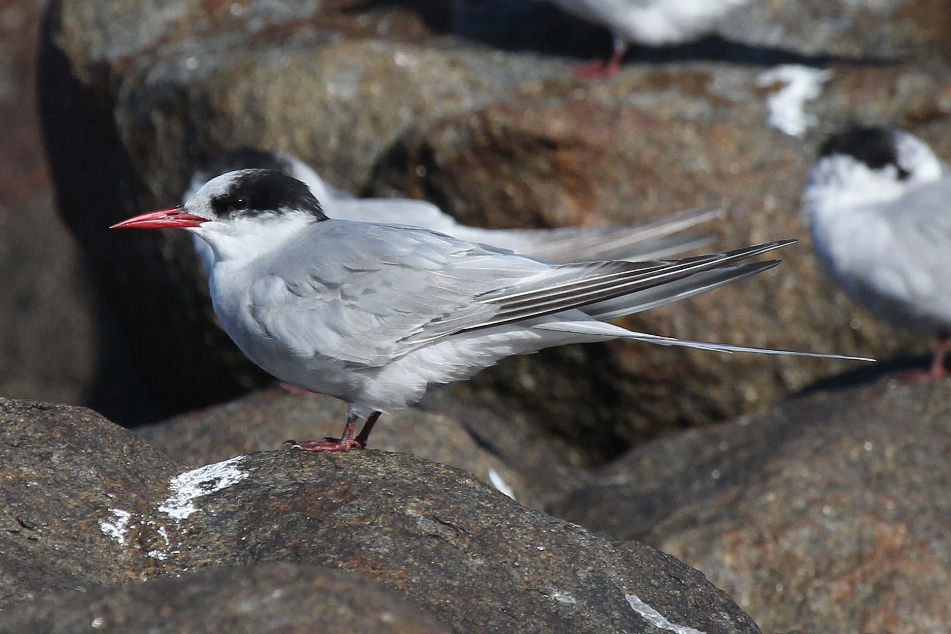 Antarctic Tern by Faansie Peacock