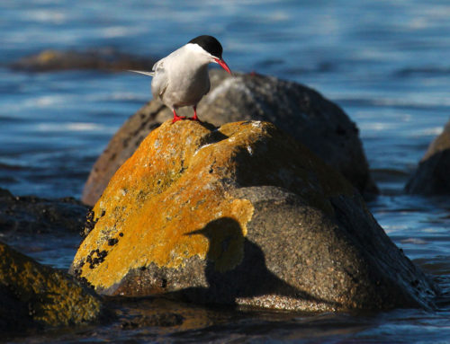 Identifying Southern Africa's Terns