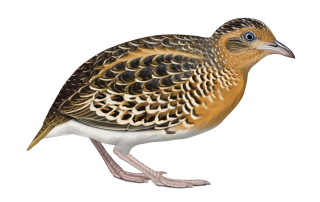 Black-rumped Buttonquail by Faansie Peacock