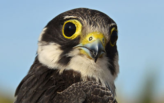 Falco-subbuteo-juv_head_thumbnail