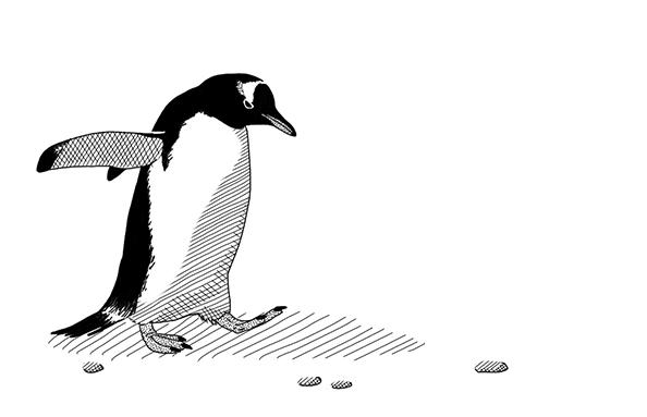 Gentoo Penguin-thumb
